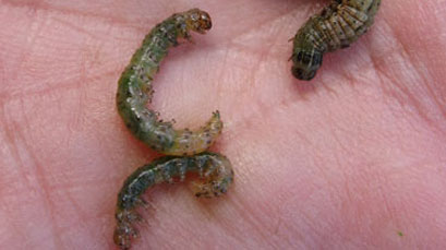 Sod webworms create a need for lawn service.