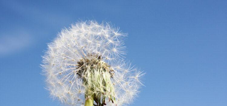 Dandelion representing seasonal allergies
