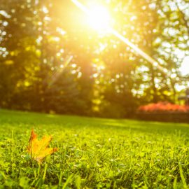 Lawn at sunrise with single leaf