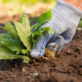 gloved hand pulling a weed from the ground